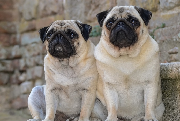Is the French bulldog easy to keep? Precautions for breeding